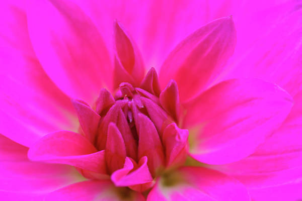 Photograph - Purple Dahlia by Juergen Roth