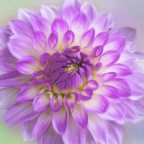 Photograph - Purple Dahlia by Patti Deters