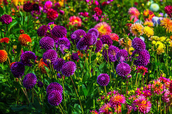 Wall Art - Photograph - Purple Dahlias by Garry Gay