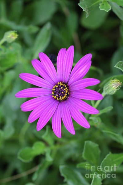 Osteospermum Hybrid Photograph - Purple Daisy Osteospermum by Tomi Junger
