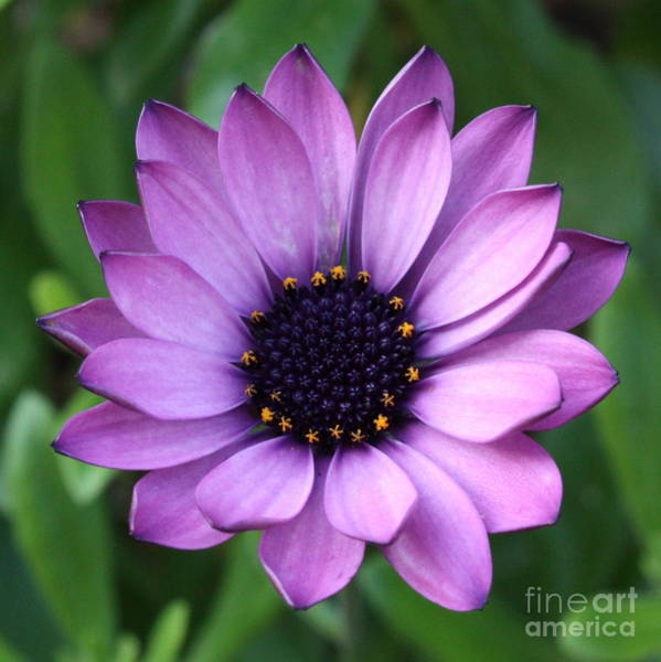 Photograph - Purple Daisy Square by Carol Groenen