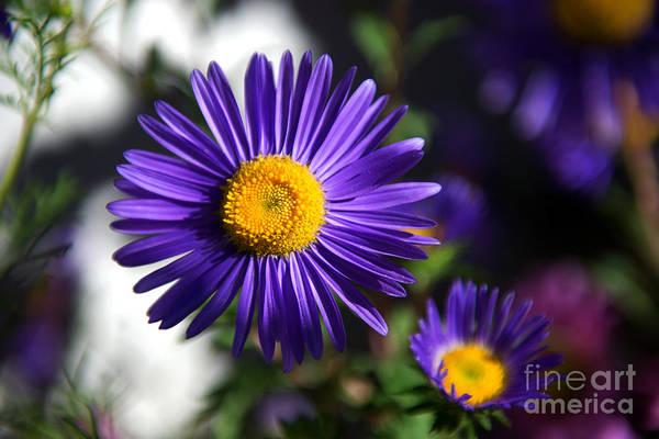 Photograph - Purple Daisy by Yew Kwang