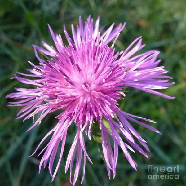 Photograph - Purple Dandelions 3 by Jean Bernard Roussilhe