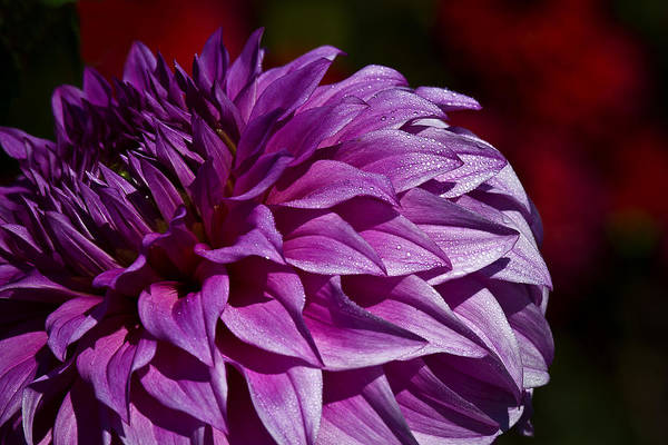Photograph - Purple Daze by Wes and Dotty Weber