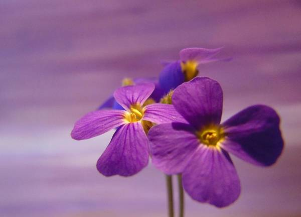 Photograph - Purple Delight by Barbara St Jean