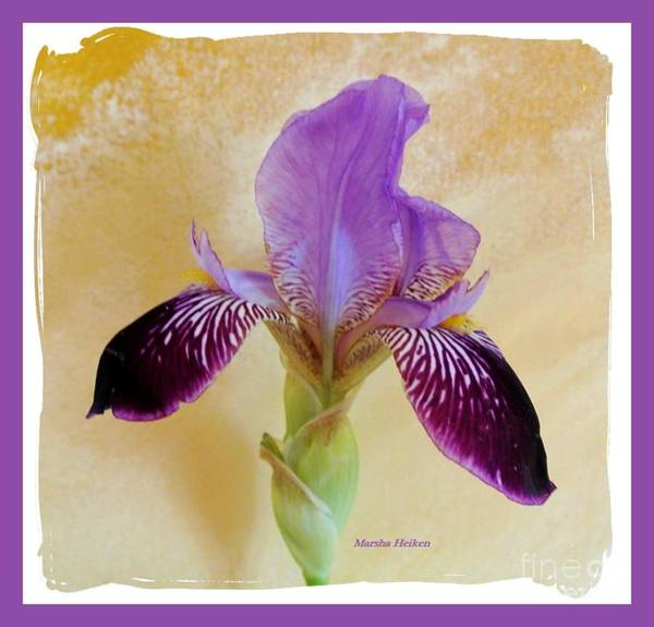 Wall Art - Photograph - Purple Elegant Iris by Marsha Heiken