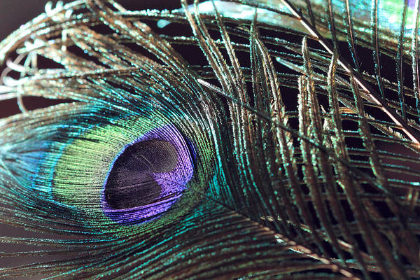 Photograph - Purple Feather With Dark Background by Angela Murdock
