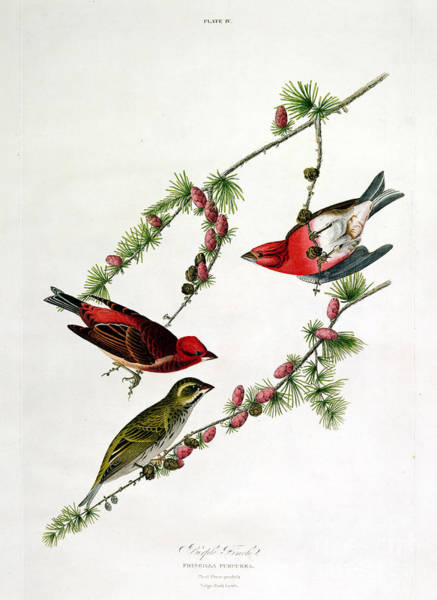Fruit Trees Wall Art - Painting - Purple Finch by John James Audubon