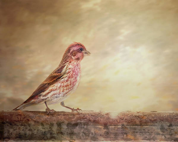 Wall Art - Photograph - Purple Finch Walks The Line by Susan Capuano