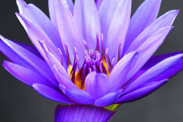 Photograph - Purple Fire Waterlily by Carol Montoya
