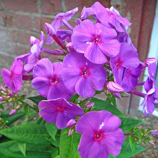 Wall Art - Photograph - Purple Flame Phlox by Barbara McDevitt