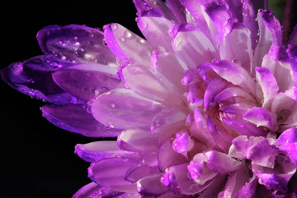 Photograph - Purple Flower And Water Drops by Angela Murdock