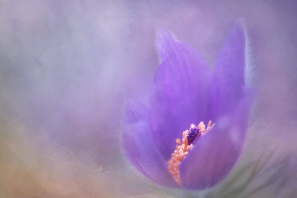 Photograph - Purple Flower by Jacqui Boonstra