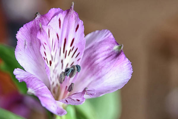 Photograph - Purple Flower by Kuni Photography