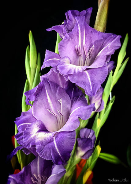 Photograph - Purple Flower by Nathan Little