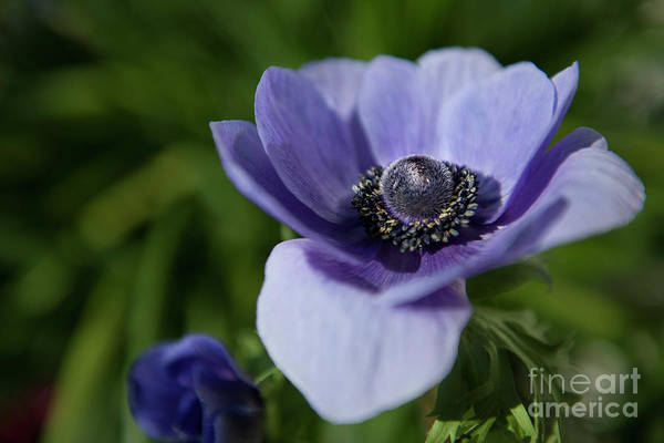 Photograph - Purple Flower Power by Dale Powell