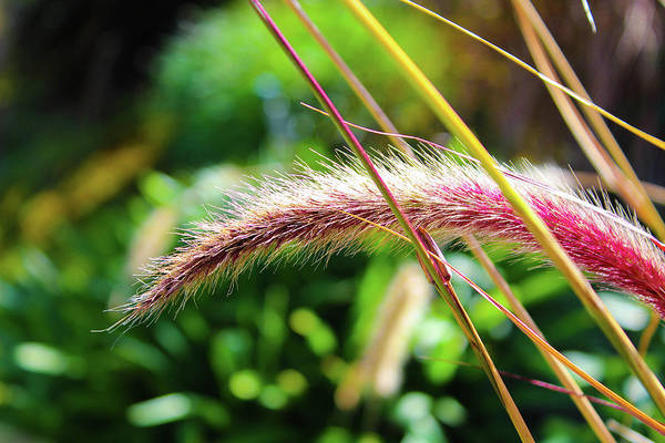 Photograph - Purple Fountain Grass by Alison Frank