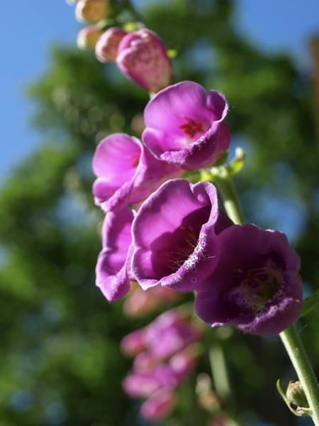 Photograph - Purple Foxglove - 1 by Jeffrey Peterson