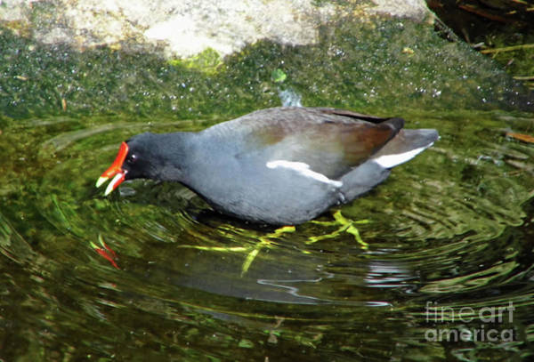 Photograph - Purple Gallinule Reflection by D Hackett