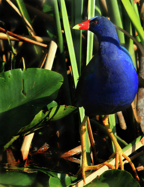 Photograph - Purple Gallinule by Shelley Neff