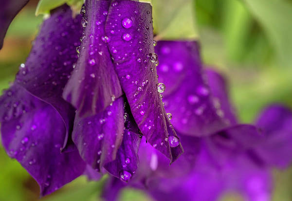 Photograph - Purple Gladiolus by Keith Smith