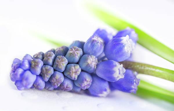 Wall Art - Photograph - Purple Grape Hyacinths Muscari by Iris Richardson