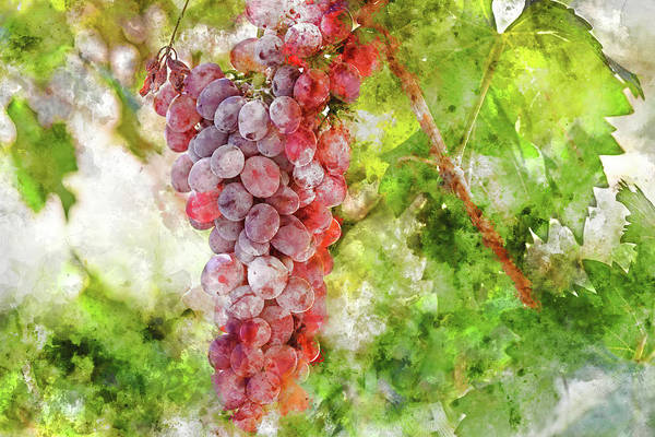 Photograph - Purple Grapes In The Napa Valley Vineyard by Brandon Bourdages