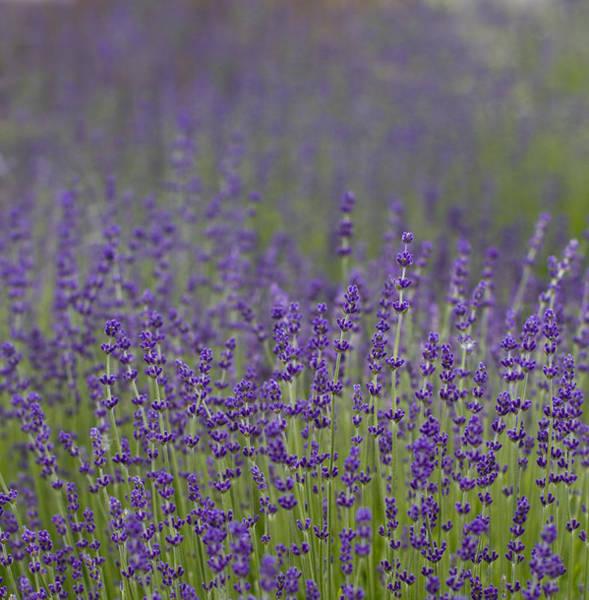 Fragrant Photograph - Purple Haze by Rebecca Cozart