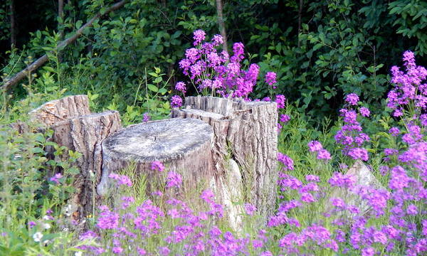 Photograph - Purple Haze Stump by Wild Thing