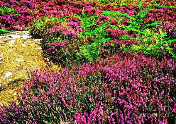 Photograph - Purple Heather by Martyn Arnold