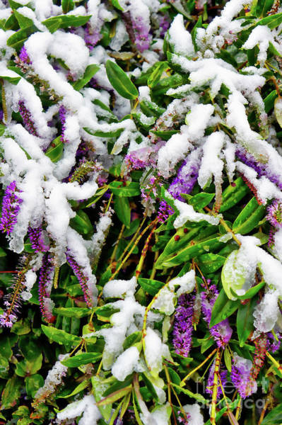 Veronica Photograph - Purple Hebe In Tjhe Snow by Tom Gowanlock