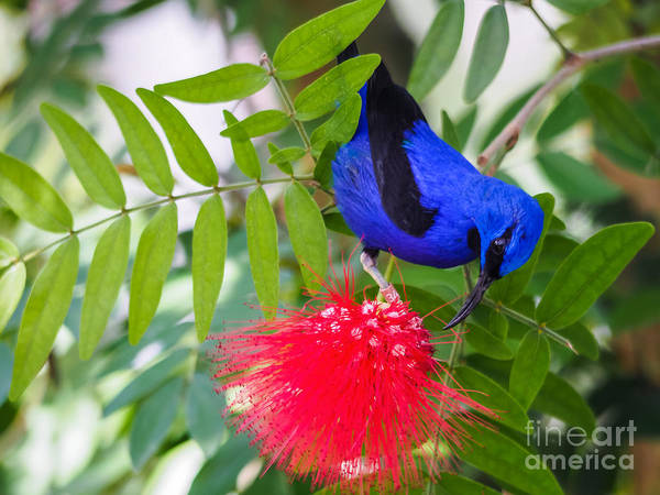 Photograph - Purple Honeycreeper by Robin Zygelman
