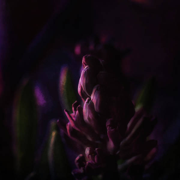 Wall Art - Photograph - Purple Hyacinth Sunset by Susan Capuano