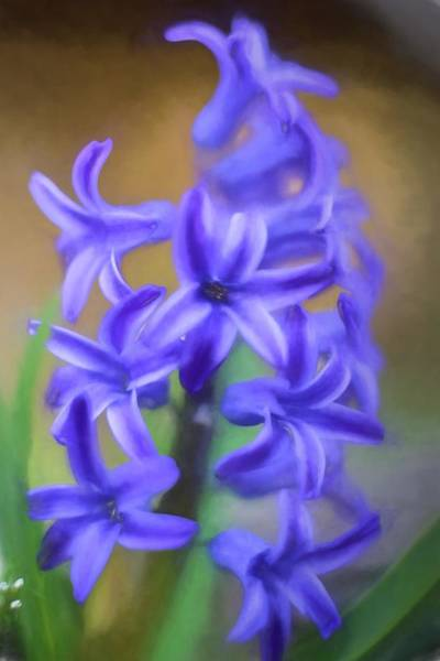 Photograph - Purple Hyacinths Digital Art by Terry DeLuco