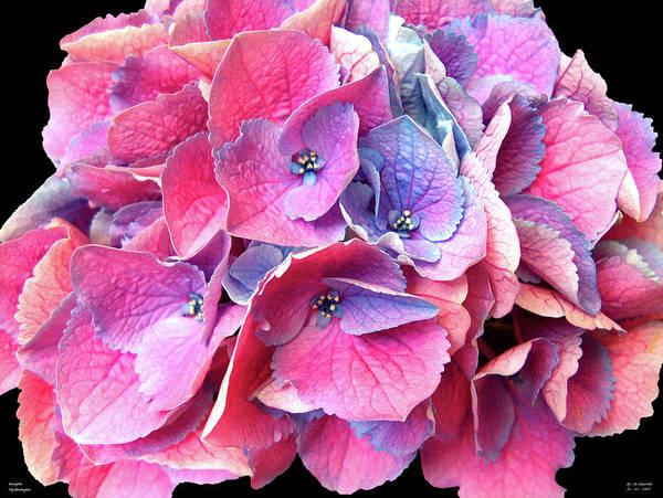 Photograph - Purple  Hydrangea by Carl Deaville