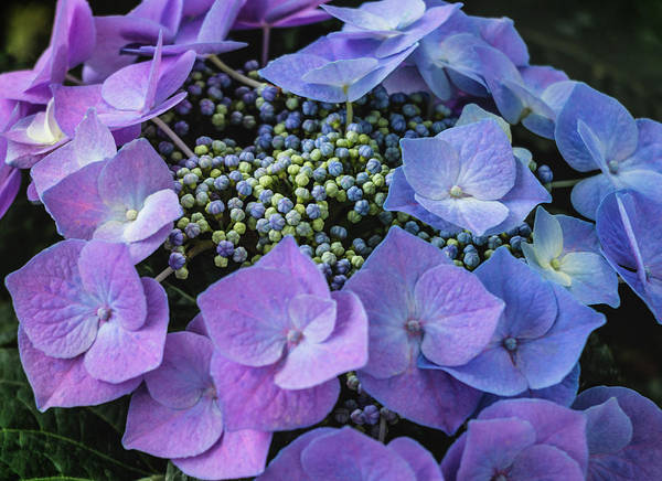 Photograph - Purple Hydrangea - Hortensia by Cristina Stefan