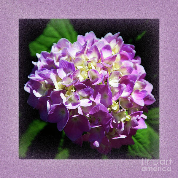 Digital Art - Purple Hydrangea Painterly Square 1 by Andee Design