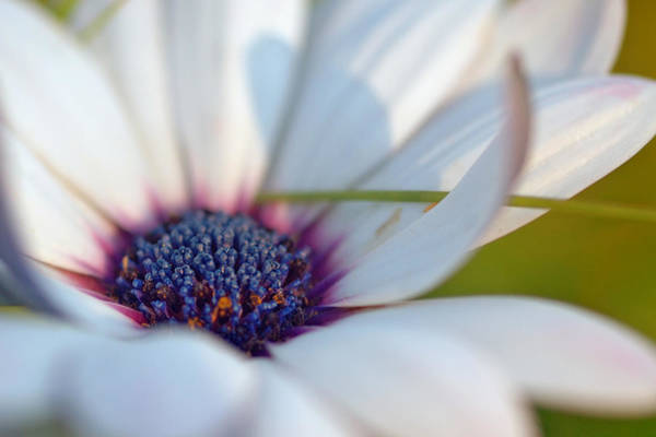 Photograph - Purple In A Daisy by Joann Vitali