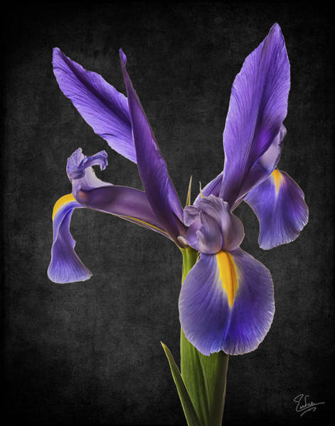 Photograph - Purple Iris 2 by Endre Balogh
