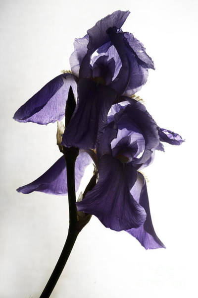 Photograph - Purple Iris Backlit Flower by Art Whitton
