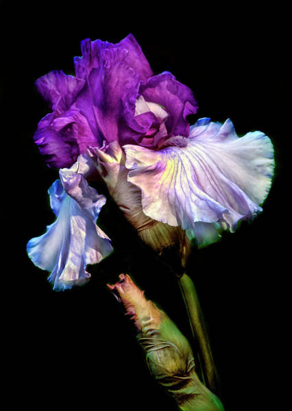 Wall Art - Photograph - Purple Iris by Dave Mills