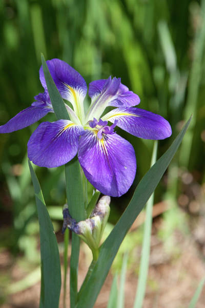 Photograph - Purple Iris by James Woody