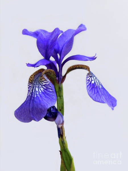 Photograph - Purple Iris On White 2016 by Karen Adams