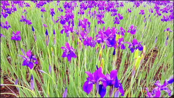 Photograph - Purple Iris by Roberta Byram