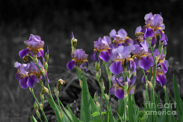 Photograph - Purple Irises by E B Schmidt