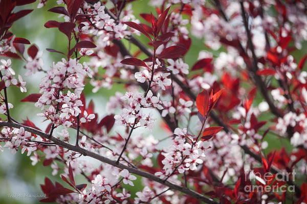 Photograph - Purple Leaf Plum No. 4 by Todd Blanchard
