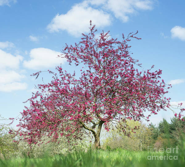 Malus Photograph - Purple Leaved Crab Apple Tree Blossoming by Tim Gainey