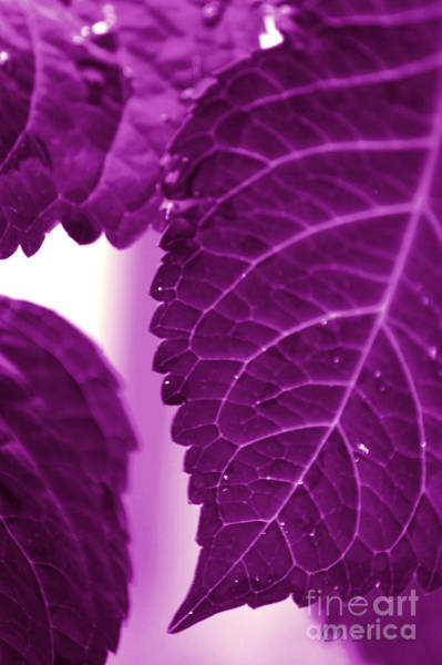 Photograph - Purple Leaves by Donna Bentley
