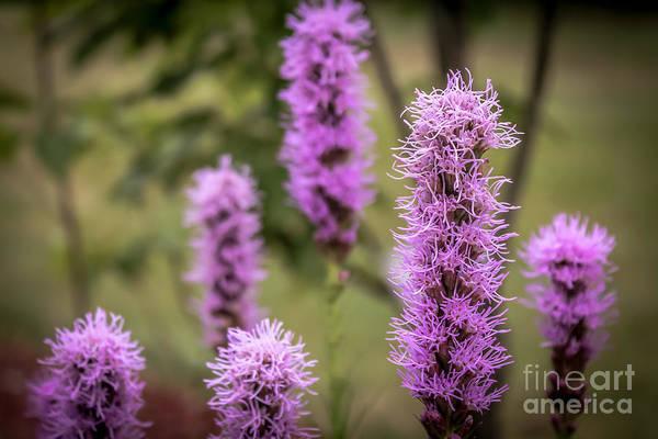 Liatris Spicata Photograph - Purple Liatris by Claudia M Photography