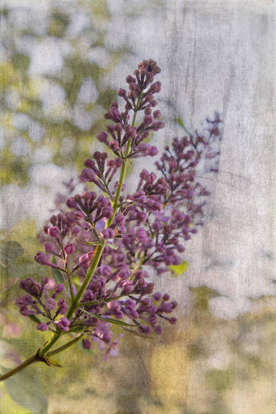 Photograph - Purple Lilac by Betty  Pauwels